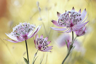 Floral Photograph - Astrantia Major by Mandy Disher