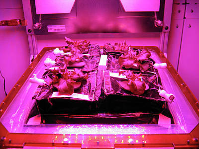 Romaine Lettuce Photograph - Astronaut Vegetable Production System by Nasa