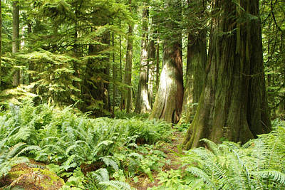Photograph - At Cathedral Grove by Marilyn Wilson