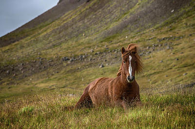 Iceland Horse Wall Art - Photograph - At Home by Bragi Ingibergsson -