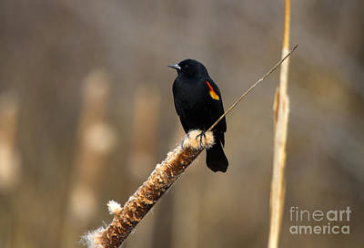 Blackbird Wall Art - Photograph - At Rest by Mike  Dawson