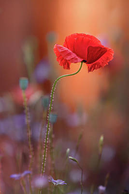 Orange Poppy Photograph - At The End Of The Day. by Steve Moore