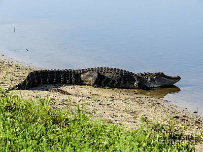 Crocodile Photograph - At The Lake Alligator by Zina Stromberg