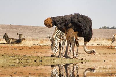 Ostrich Photograph - At The Waterhole V3 by Douglas Barnard