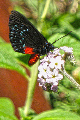 Photograph - Atala Butterfly by Marie Morrisroe