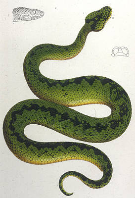 Viper Drawing - Atheris Woosnami  From The Viper Family by Mary Evans Picture Library