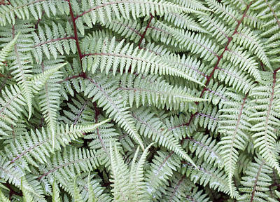 Photograph - Athyrium Ghost Fern Leaves by Duane McCullough