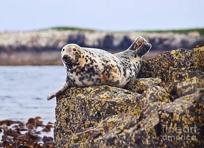 Atlantic Grey Seal Halichoerus Grypus Art Print by Liz Leyden