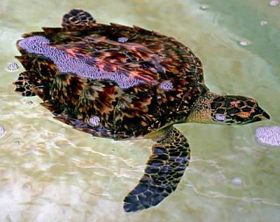 Photograph - Atlantic Hawksbill Turtle by Millard H. Sharp