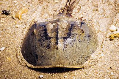 Horseshoe Crab Photograph - Atlantic Horseshoe Crab by Paul Williams