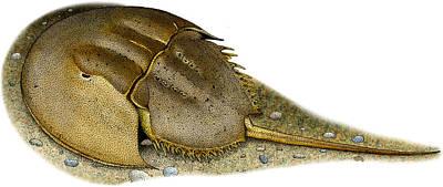Limulus Polyphemus Photograph - Atlantic Horseshoe Crab by Roger Hall