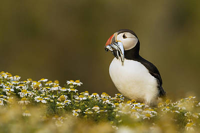 Atlantic Puffin Carrying Fish Skomer Print by Sebastian Kennerknecht
