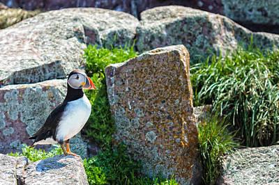 Photograph - Atlantic Puffin Close Up by Perla Copernik