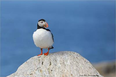 Photograph - Atlantic Puffin  by Daniel Behm