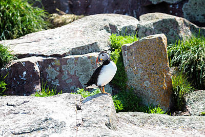 Photograph - Atlantic Puffin In Early Morning by Perla Copernik