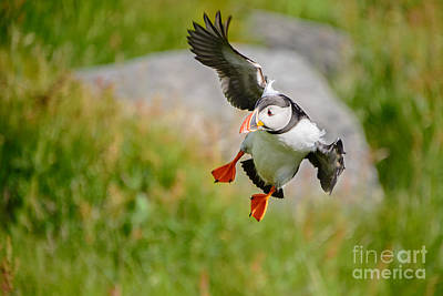 Photograph - Atlantic Puffin, Incoming.... by IPics Photography