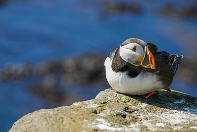 Photograph - Atlantic Puffin by Patricia Hofmeester