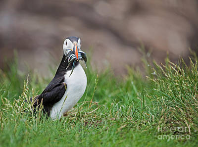 Puffin Photograph - Atlantic Puffin With Sandeels by Liz Leyden