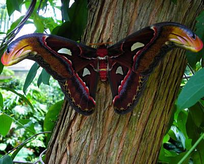 Photograph - Atlas Moth 1 by Judy Wanamaker