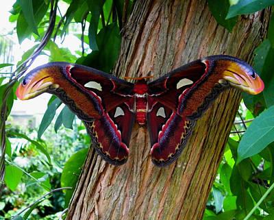 Photograph - Atlas Moth 2 by Judy Wanamaker