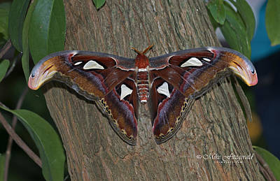 Photograph - Atlas Moth by Mike Fitzgerald