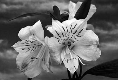 Photograph - Atmospheric Alstroemeria. by Terence Davis