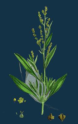 Botanica Drawing - Atriplex Portulacoides Sea Purslane by English School