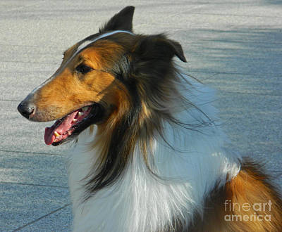 Attentive Collie Print by Emmy Marie Vickers