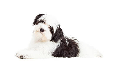Attentive Havanese Dog Laying Art Print by Susan Schmitz