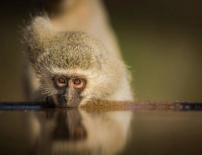 Monkey Wall Art - Photograph - Attentive by Jaco Marx
