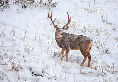 Photograph - Atypical Buck by Darren  White