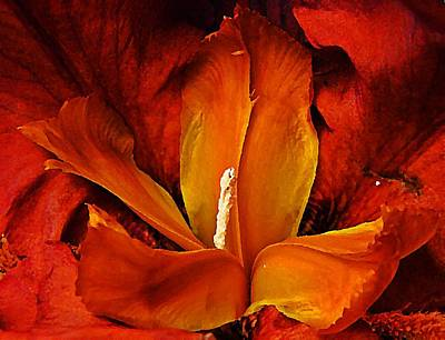 Photograph - Auburn Iris  by Chris Berry