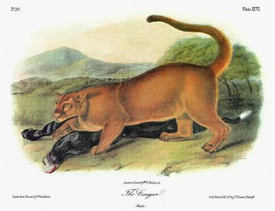 Carcass Painting - Audubon Cougar by Granger