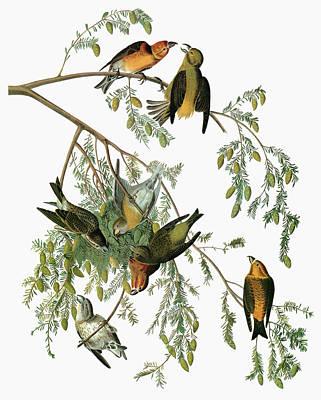 Crossbill Painting - Audubon Crossbill by Granger