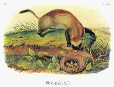 Black-footed Ferret Painting - Audubon Ferret by Granger