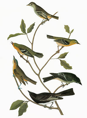 Flycatcher Painting - Audubon Flycatchers by Granger