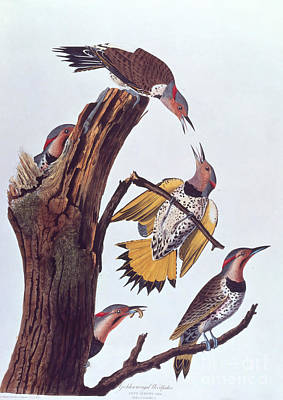 Photograph - Audubon Golden-winged Woodpeckers by NAS Science Source