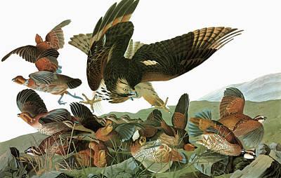 Bobwhite Quail Painting - Audubon Hawk & Bobwhite by Granger