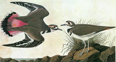 Killdeer Painting - Audubon Killdeer by Granger