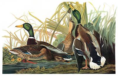 Yellow Beak Painting - Audubon Mallard by Granger