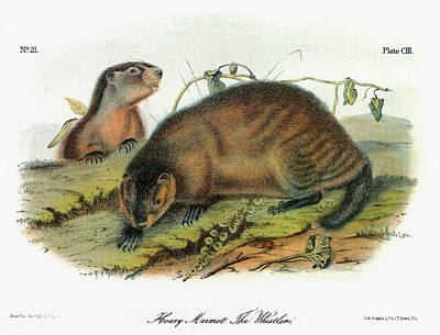 Whistler Painting - Audubon Marmot by Granger