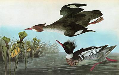 Pitcher Painting - Audubon Merganser by Granger