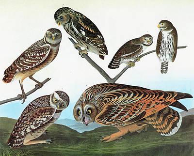 Pygmy Owl Wall Art - Painting - Audubon Owls by Granger