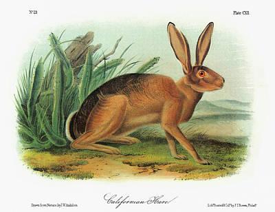 Desert Jackrabbit Painting - Audubon Rabbit by Granger