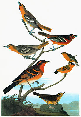 Oriole Painting - Audubon Songbirds by Granger