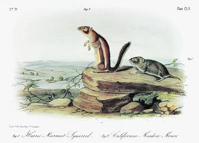 Audubon Squirrel And Vole Art Print by Granger