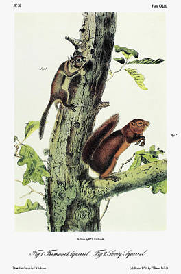 Red-tailed Squirrel Painting - Audubon Squirrels by Granger
