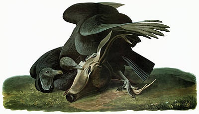Carcass Painting - Audubon Vulture by Granger