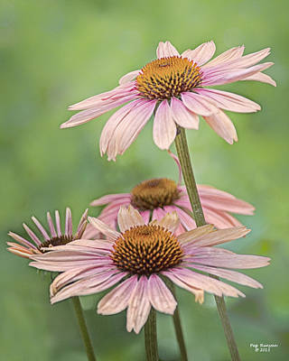 Photograph - August Coneflowers by Peg Runyan