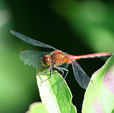 Macro Photograph - August Dragonfly In Square  by Neal Eslinger